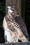 Broad-winged Hawk, captive, vertical