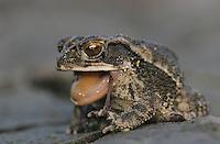 Gulf Coast Toad, Bufo valliceps, adult eating sheding skin, Texas, USA