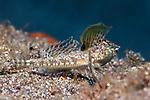 Callionymus bairdi, Lancer dragonet, Statia