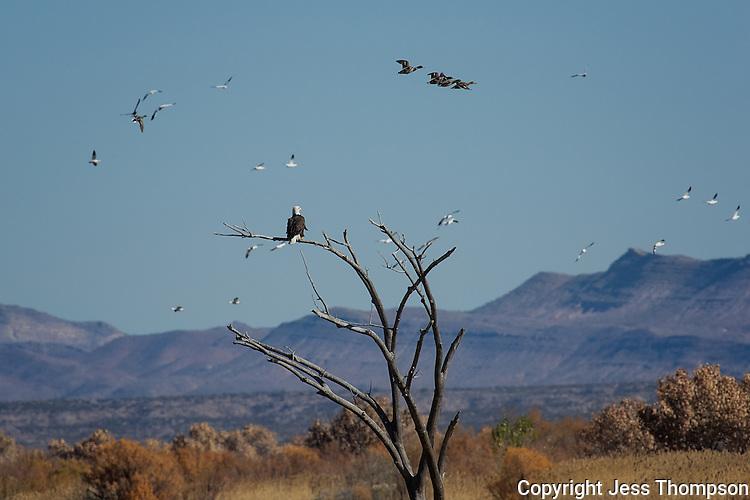 Bald Eagle, Bosque del Apache NWR, New Mexico