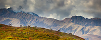 Digital composite: (multiple images blended into panorama) bull caribou travel across a mountain ridge in the Alaska Range mountains, Denali National Park, Interior, Alaska.