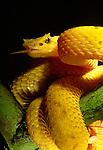 Eyelash viper, indigenous to South America. (captive)
