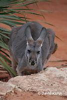 0906-0816  Red Kangaroo, Macropus rufus  © David Kuhn/Dwight Kuhn Photography.