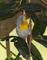 Female northern parula