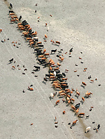 Cattle on prairie lined up feeding