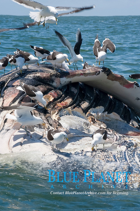 birds, Sea gulls feeding on a dead humpback whale, Megaptera novaeangliae, floating in the ocean off Robberg Nature Reserve, Plettenburg Bay, South Africa, southern Africa, Indian Ocean