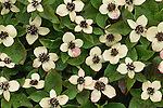 Bunchberry flowers, Olympic National Park, Washington