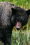 Glacier bear, silver phase of black bear, Tongass National Forest, Alaska