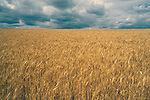 Wheat field with storm Eastern Washington State USA.