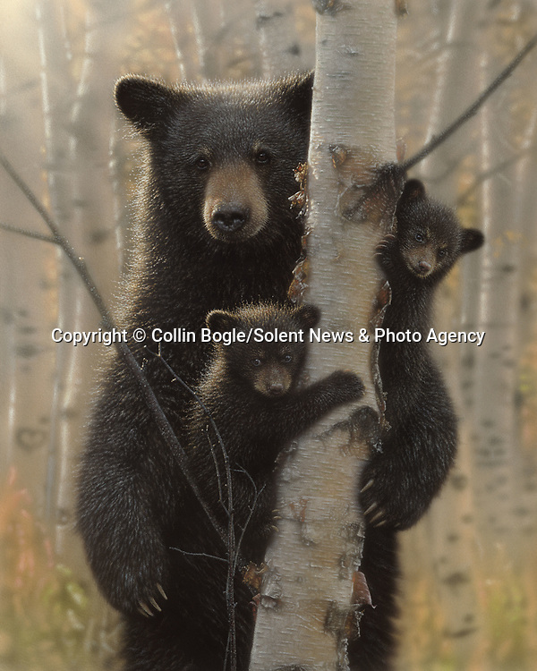 """NOTE FOR ONLINE:  MAXIMUM OF 10 IMAGES TO RUN ALONGSIDE THIS STORY - UNLESS OTHERWISE AGREED WITH A REVISED FEE IN PLACE.<br /> <br /> Pictured:  One of Collin Bogle's realistic paintings: Mama Bear<br /> <br /> These intricately detailed pictures of wild animals look like photographs - but are in fact paintings.  American artist Collin Bogle's extraordinary work portrays close up encounters with animals such as lions, snow leopards, wolves, eagles and bears.<br /> <br /> He uses photos of the animals as a reference and spends between two weeks and two months painstakingly creating each piece.  Mr Bogle, who works out of his home in Seattle, Washington, in the United States, said: """"My dad is an artist and was also a high school art teacher - so I started learning to paint as soon as I could hold a brush.  SEE OUR COPY FOR DETAILS.<br /> <br /> Please byline: Collin Bogle/Solent News<br /> <br /> © Collin Bogle/Solent News & Photo Agency<br /> UK +44 (0) 2380 458800"""