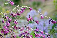 Dierama Wildside Hybrids