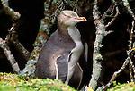 Yellow-eyed penguin, Enderby Island, New Zealand
