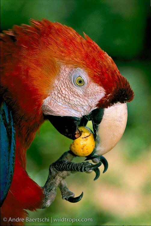 Scarlet Macaw (Ara macao) eating fruit, lowland tropical rainforest, Manu National Park, Madre de Dios, Peru.