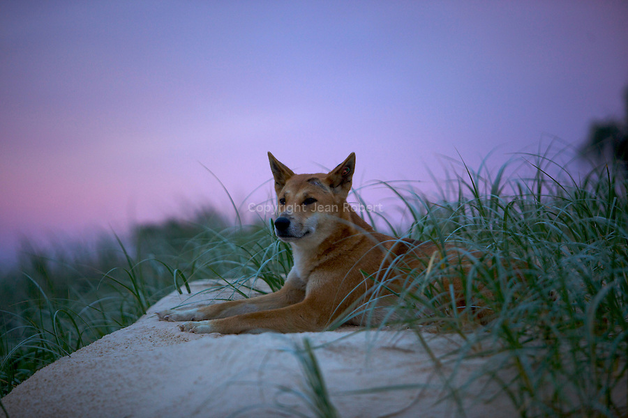 Fraser island is home to one of Australia purest remaining dingos strains.