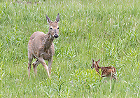 This was my first time seeing a white-tailed deer fawn.