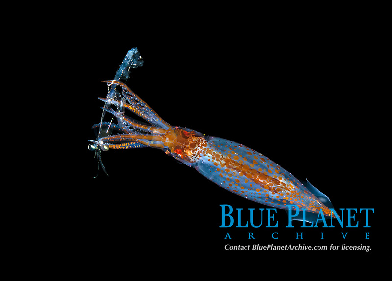 an unidentified squid snatches a shrimp form the water column during a blackwater dive over deep water off Anilao, Philippines.  Pacific Ocean