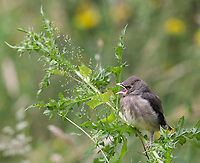 A young Cedar Waxwing begs for food and attention.