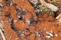 Wegameise, Nest in Totholz mit geflügelten Tieren, Lasius s.str., Lasius cf. platythorax, Black Ant