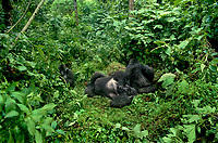 642229021 a wild silverback male a female and a juvenile mountain gorilla gorilla gorilla berengi rest in the tropical cloud forest of virungas national park in zaire