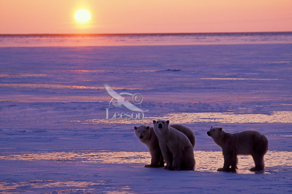 Polar Bears--sow with two almost grown cubs. Hudson Bay, sunset.  Late November.
