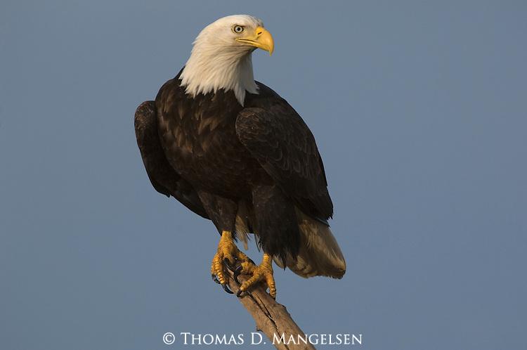 Close-up of a bald eagle perched on a limb in Homer, Alaska.
