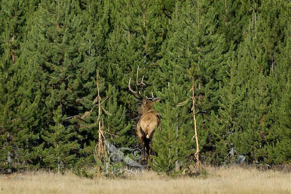 Large Rocky Mountain Bull Elk (Cervus elaphus)