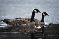 Lesser Canada (Branta canadensis) and Cackling Goose (Branta hutchinsii) swimming side by side in Southcentral Alaska.