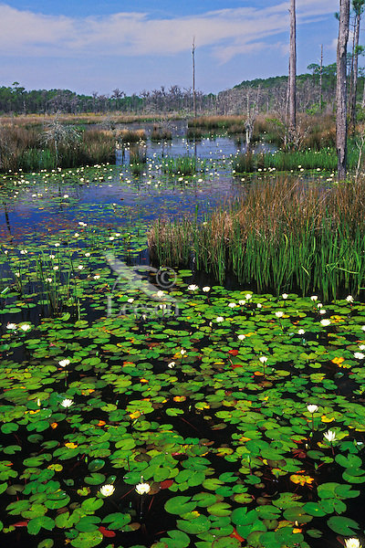 Big Branch Marsh National Wildlife Refuge, Louisiana.  Water lilies on wetland pond.  April.