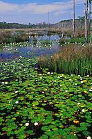 Big Branch Marsh National Wildlife Refuge, Louisiana.  Water lilies on wetland pond.  April.