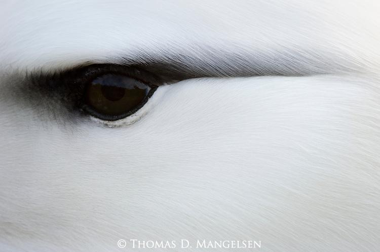 Closeup portrait of a black-browed albatross on Steeple Jason Island in the Falklands.