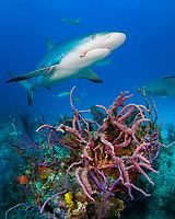 Caribbean reef shark, Carcharhinus pereziii, swimming over colorful reef with sponges, Bahamas Bank, Bahamas, Atlantic. Note hook in mouth