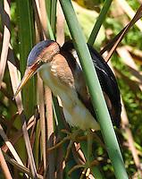 Least bittern adult male in reeds