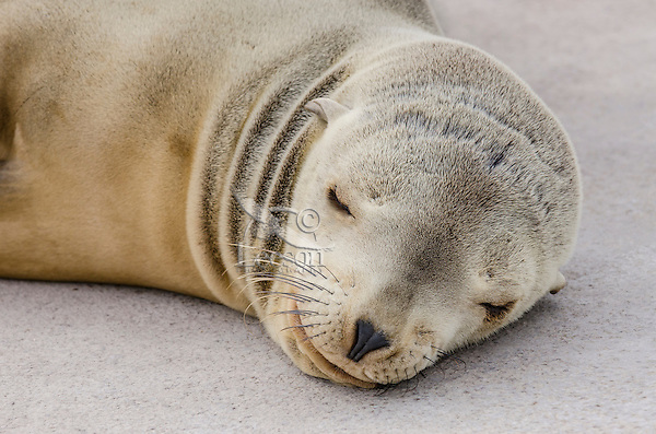 California sea lion (Zalophus californianus) pup sleeping on dock.  Central California Coast.