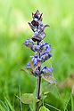 Bugle (Ajuga reptans), in East Sussex grassland, early May.