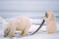 polar bears, mother and cub, Ursus maritimus, cub is chewing on baleen from bowhead whale, Balaena mysticetus, 1002 Arctic Coastal Plain of the Arctic National Wildlife Refuge, Alaska ( Arctic ), polar bear, Ursus maritimus