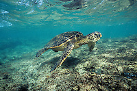 Green Sea Turtle (Chelonia Mydas) swimming in the shallow water off the coast of Hawaii.