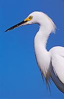 Snowy Egret, Egretta thula,adult, Lake Corpus Christi, Texas, USA