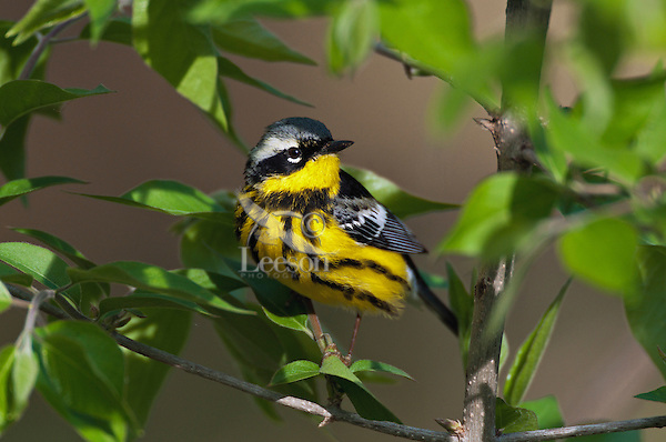 Magnolia warbler (Dendroica magnolia) male in breeding plumage along Lake Erie shoreline near Canada and USA border during annual spring migration northward to summer nesting grounds. About 74% of Magnolia Warblers in North America breed within Canada's boreal forest.