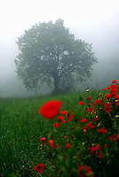 Blooming poppies with solitary tree in background<br />