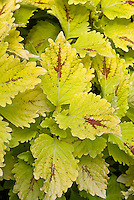 Coleus Solenostemon Pele, gold yellow leaved annual ornamental accent plant with red splashes, named after famous person soccer footbal player Pele