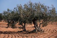 Olivenbäume bei Midoun,  Djerba, Tunesien