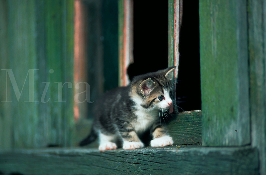 A domestic shorthair kitten playing on a door stop.
