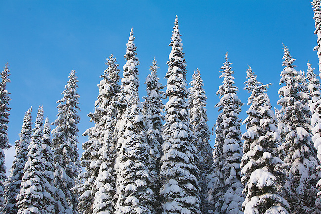 Snow covered trees in western Montan
