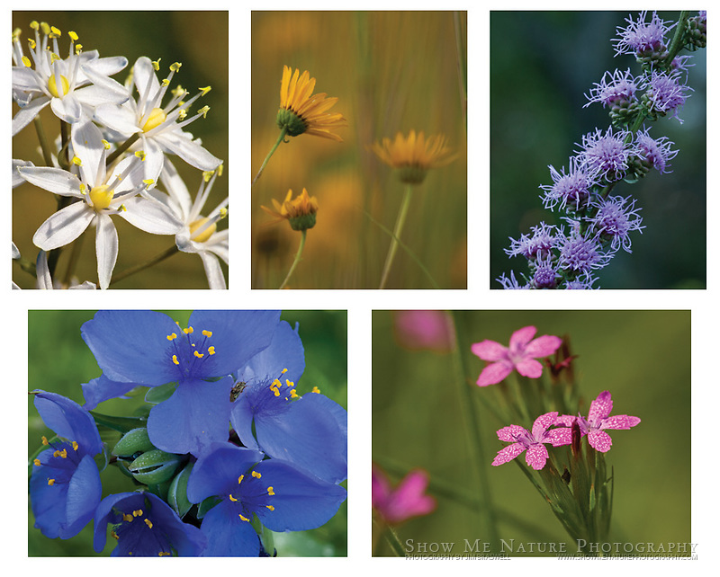 """Boxed set of 10 Prairie Wildflower note cards (folded, blank inside), 2 of each of the pictured images, and 10 blank, white envelopes. To purchase, click on image until a """"Buy Prints"""" button appears above the image."""