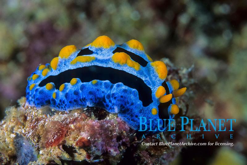 Nudibranch, Phyllidia coelestis, Lembeh Strait, North Sulawesi, Indonesia, Pacific Ocean