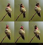 Anna's Hummingbird Male, Color Display, Descanso Gardens, Southern California