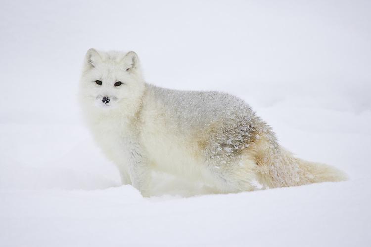 Arctic Fox standing in the snow - CA