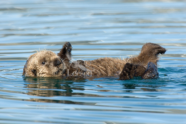 Sea Otter (Enhydra lutris) pup learning to use its legs, feet and flippers--kind of learning some coordination.  Within a few days it will be learning to hold food with its front paws (drops alot at first) and to swim about (now it mostly floats on back).
