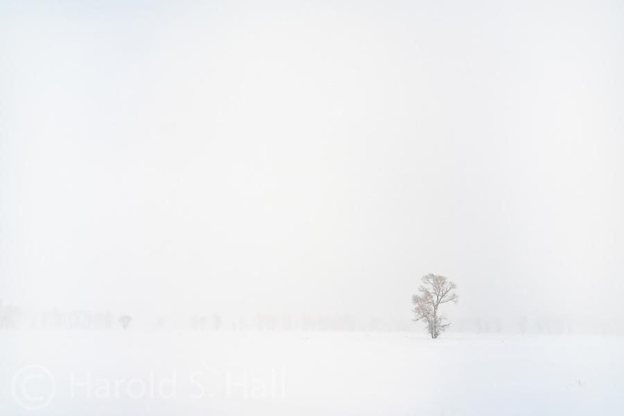 Lone tree in a snow storm near Jackson, Wyoming
