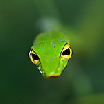 Oriental Whip or Green Vine Snake (Ahaetulla prasina) in low vegetation. Near Ginseng Camp in the heart of Maliau Basin - Sabah's 'Lost World'. Maliau Basin, Borneo.